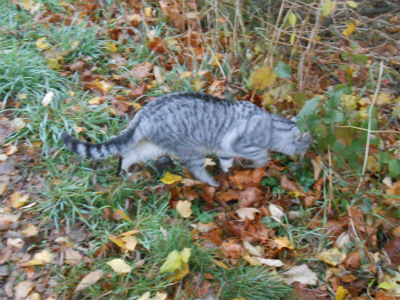 ボウボウのグレイ猫