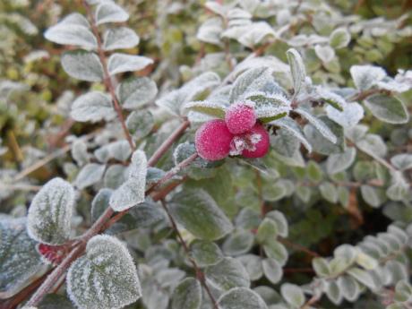 霜とピンクの実