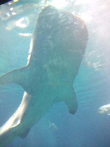 海遊館 ジンベイザメ