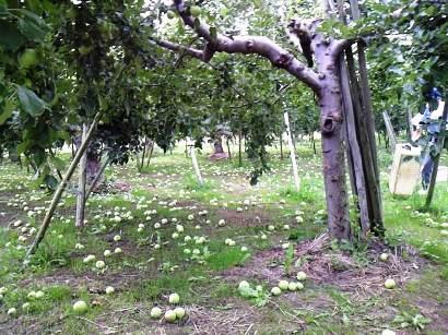 リンゴ農園♪