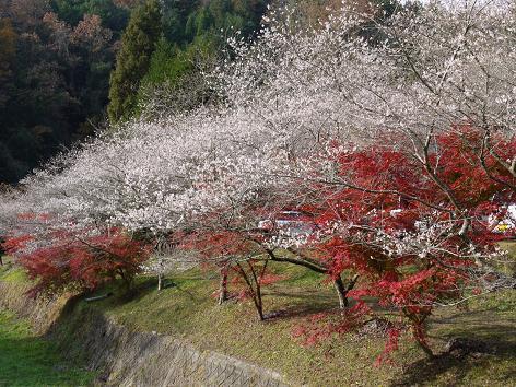 川沿いの四季桜11.26