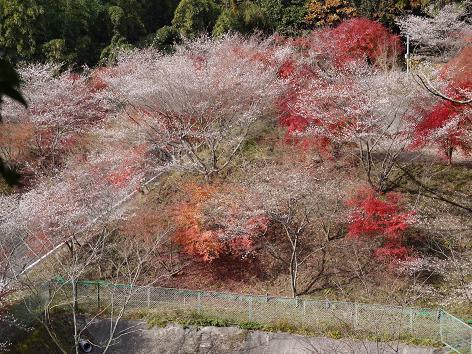 西運寺の四季桜11.26
