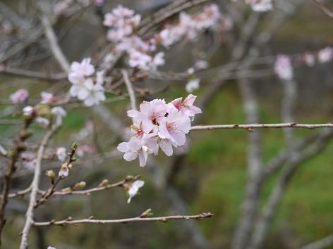四季桜11.26