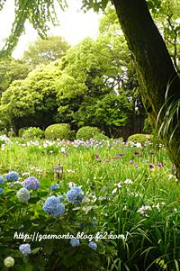 城北公園の花菖蒲
