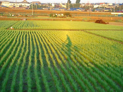 朝日に照らされる自転車姿(恩田川沿いの田園風景)