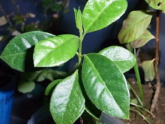 leaf130.jpg