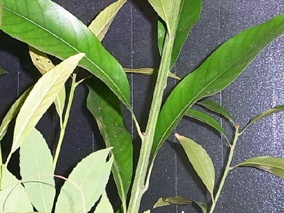 leaf139.jpg
