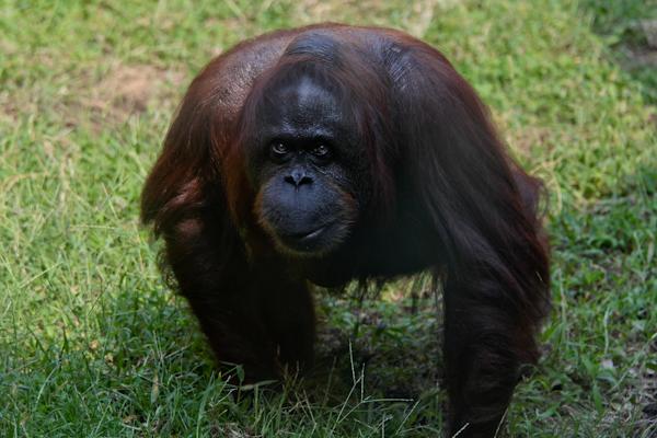 ボルネオオランウータン 多摩動物公園