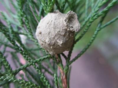 トックリバチの巣