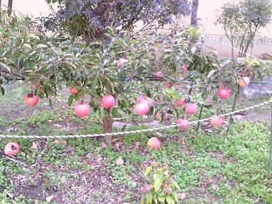 校庭に実ったリンゴ