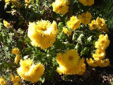 師走に咲く八重菊