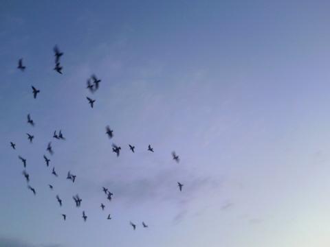 鳩のリーダーは