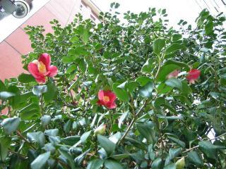 201102花椿11