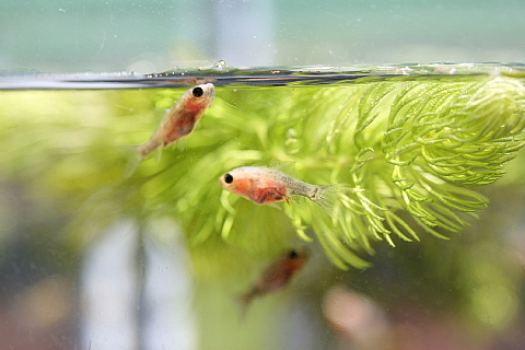 金魚の稚魚2