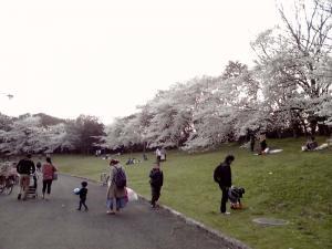 大泉緑地 2012 双ヶ丘の桜(東から:その1)