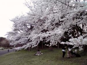 大泉緑地 2012 双ヶ丘の桜(中央付近)