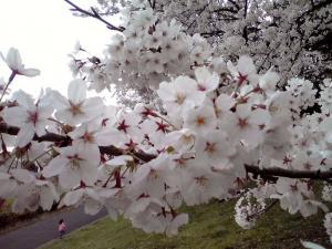 大泉緑地 2012 双ヶ丘の桜と走る少女