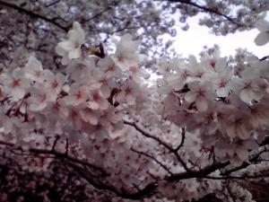 大泉緑地 2012 双ヶ丘の桜(目線の高さで)