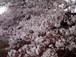 大泉緑地 2012 双ヶ丘の桜(少し上から)