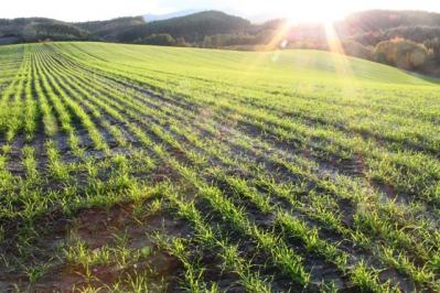 秋まき小麦2010