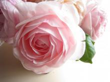 haruko rose
