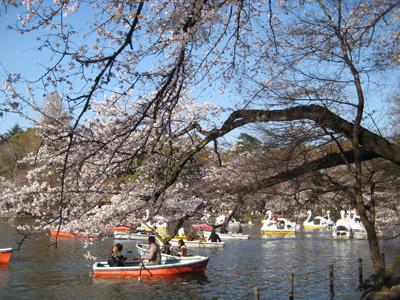 井の頭池の桜