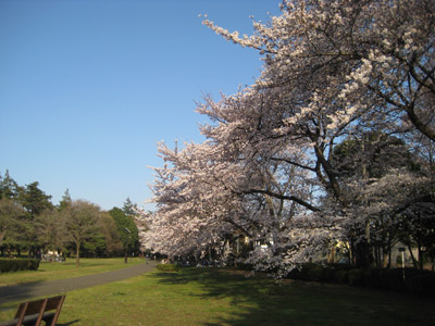 野川公園の桜