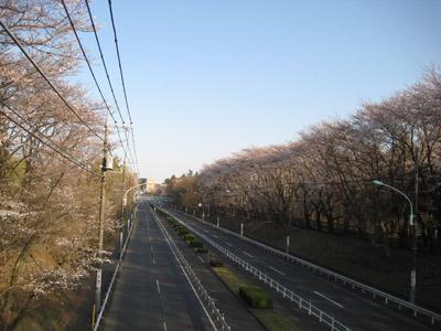 東八道路の桜