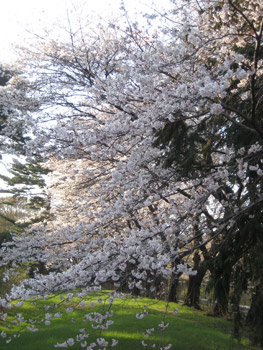 公園内の桜