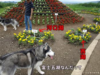 花富士とミニ富士五湖