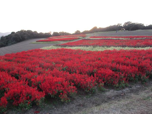 あわじ花さじき2013年11月-15