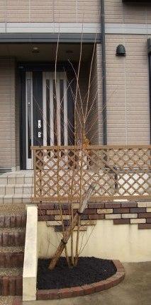 花壇カツラ株立植栽