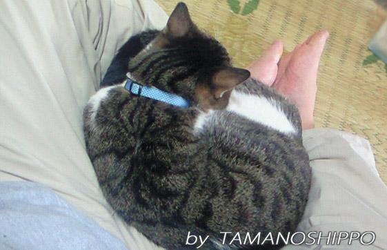 膝の上で寝るネコ