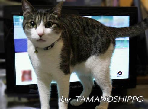 テレビの前でイタズラする猫