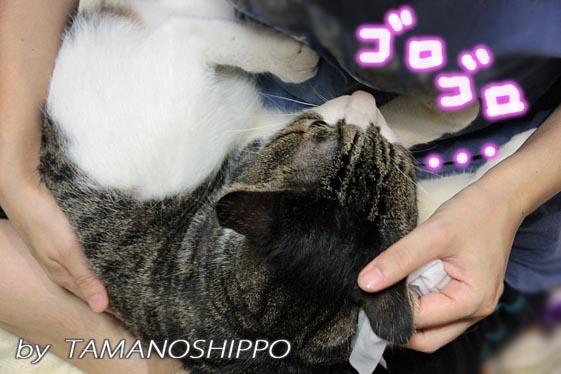 猫の耳そうじ・濡れティッシュ
