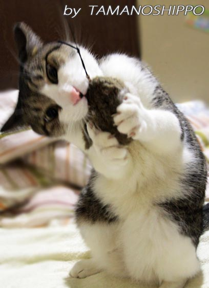 おもちゃと遊ぶネコ