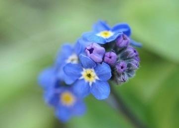 青い花0101