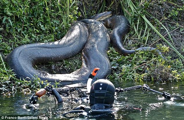 ブラジルで半端ない大きさのアナコンダ見つかる