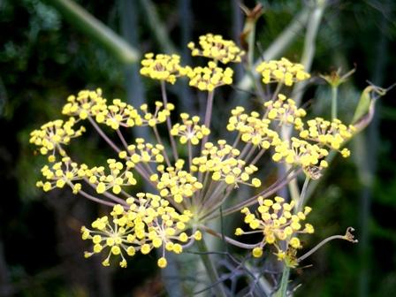 ブロンズフェンネルの花