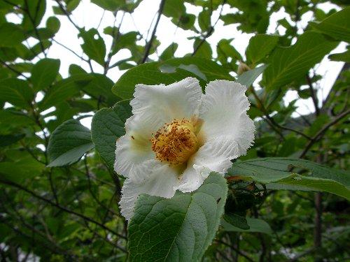 0706沙羅の花③
