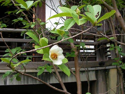 0706沙羅の花①
