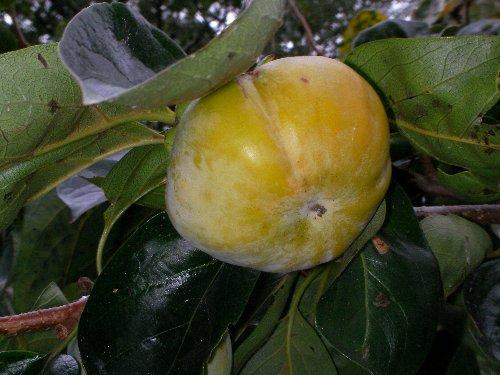1014柿の実①