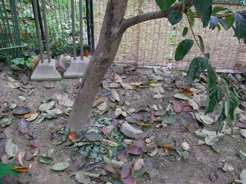 1014柿の木落葉①