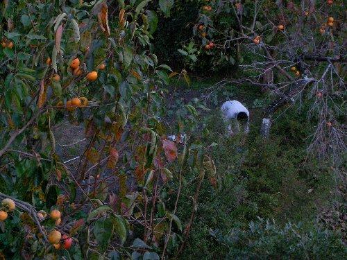 庭と畑の柿
