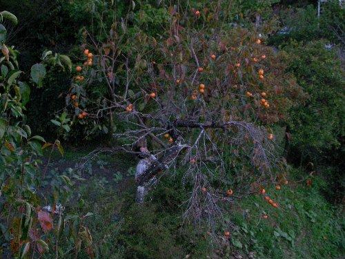 1016柿の収穫②