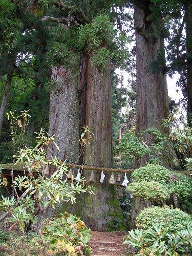 杉の大木①