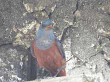 $都内で野鳥撮影-宮古島の野鳥 イソヒヨドリ