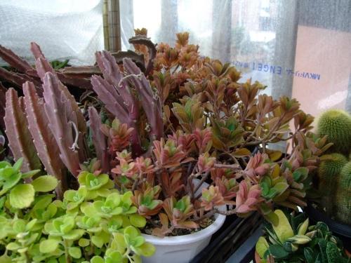 プレクトランサス ネオチラス~2階、無加温簡易ビニール温室でエアパッキン被せて冬越し中~少し紅葉しながら花芽はないです。2013.12.23
