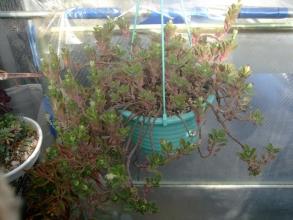 プレクトランサス ネオチラス(Plectranthus neochilus)和名:藤壺(フジツボ)? 今時が蕾だらけです(^◇^)2013.12.22