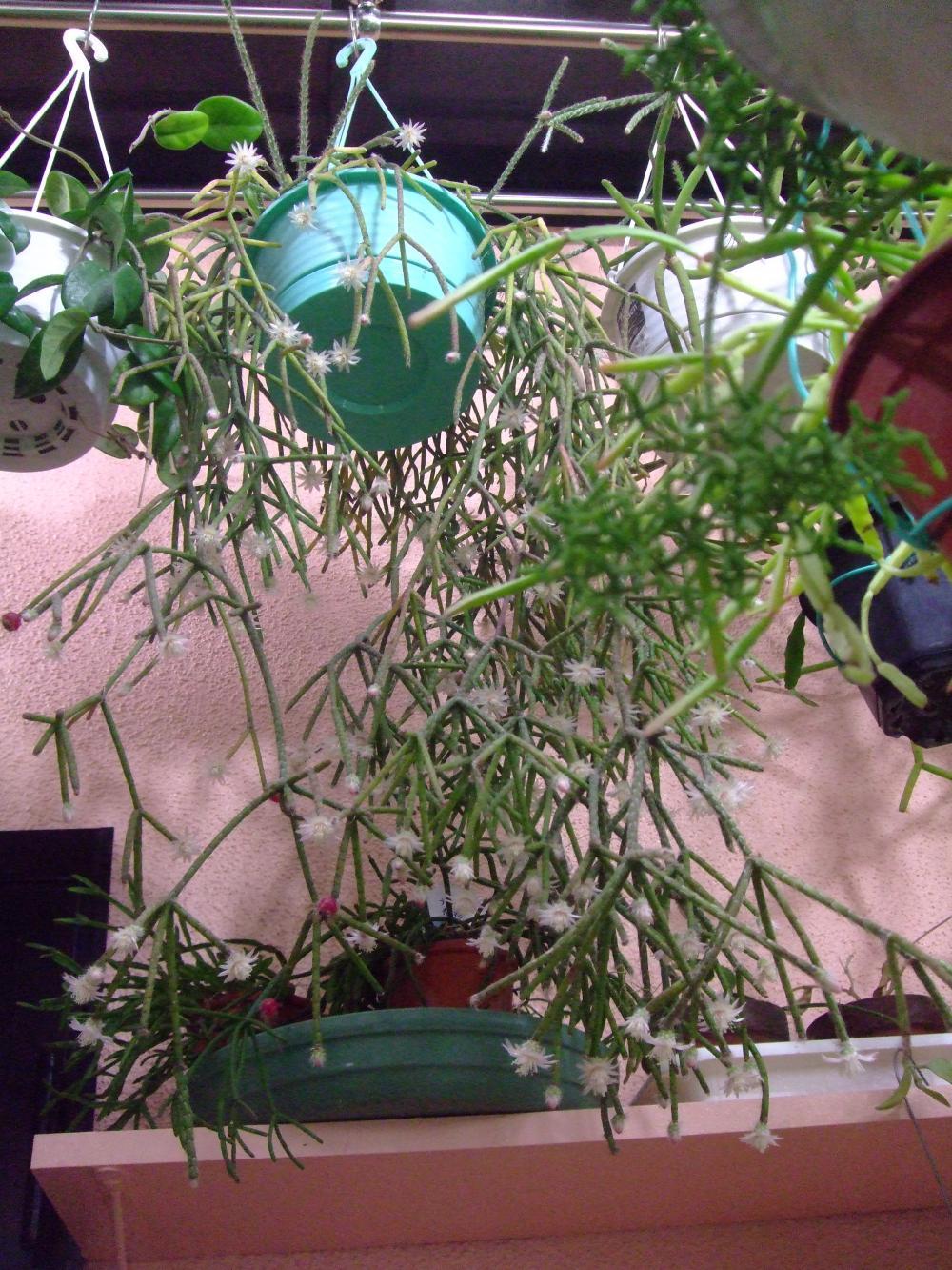 年末に室内で早くも開花ちゅう リプサリス3種 もじゃもじゃ 楕円型 芳香花 多肉うきうき Life